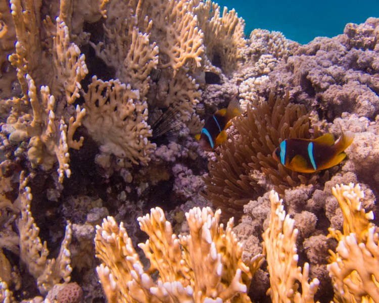 Nemo amidst coral in the Red Sea.