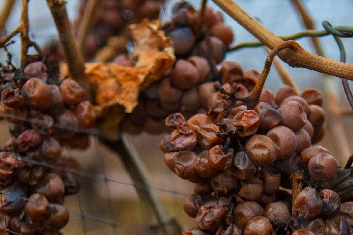 Frozen grapes on a vine in Niagara on the lake for the Niagara Icewine Festival in Ontario