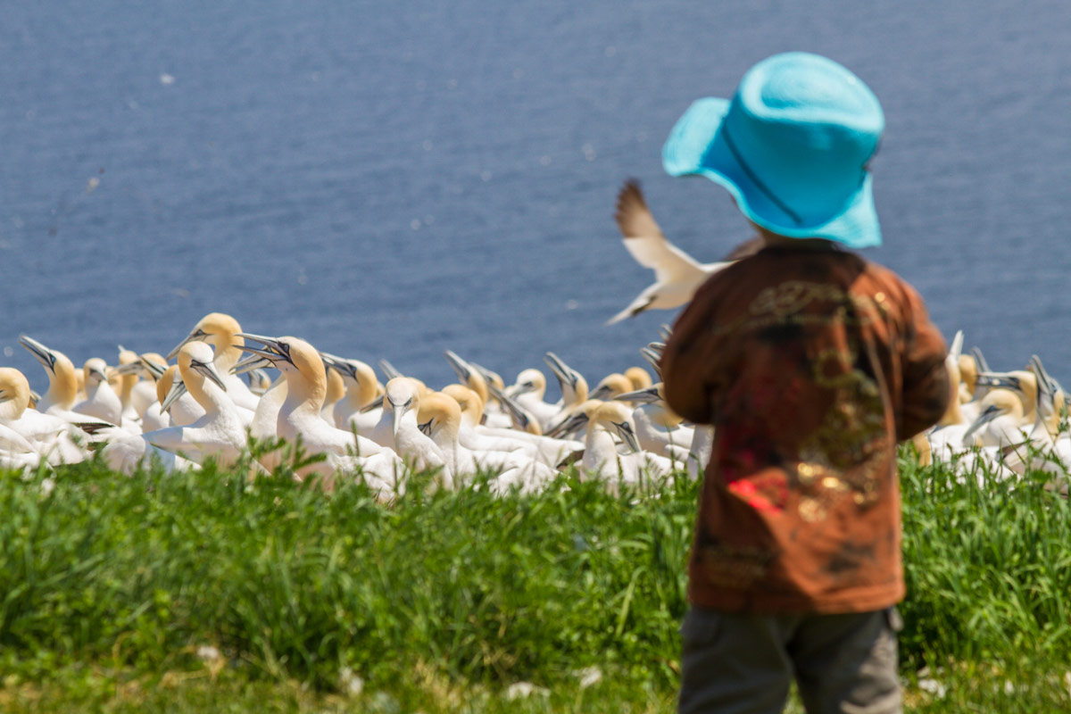 A young boy watches a colony of Northern Gannets on Bonaventure Island and Perce Rock Provincial Park