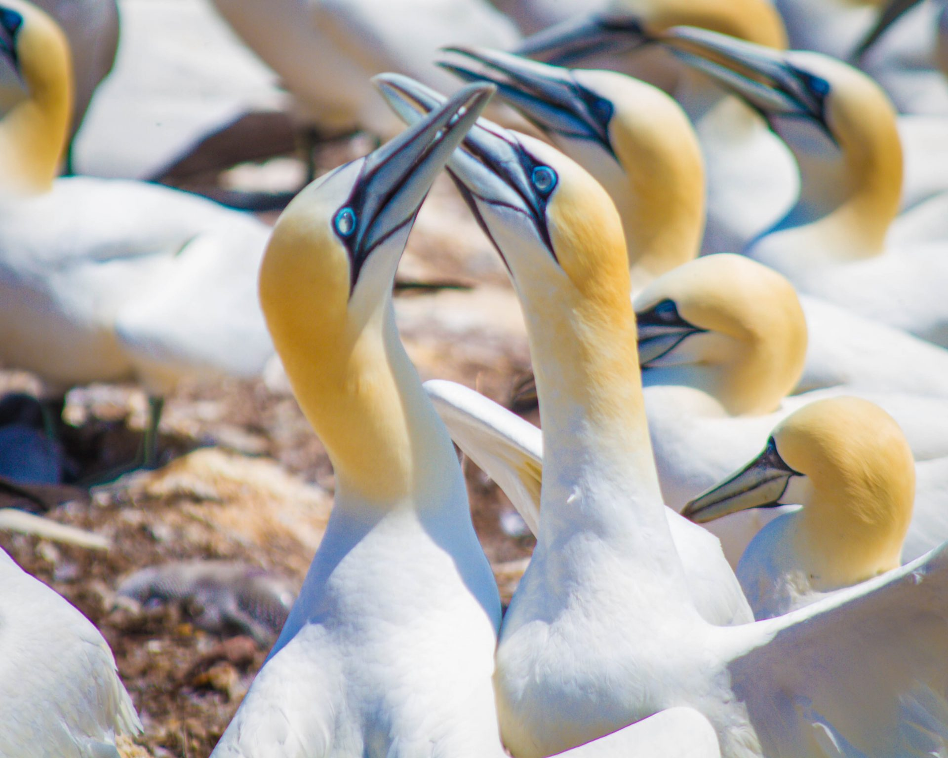 Two Northern Gannets among other mating gannets.