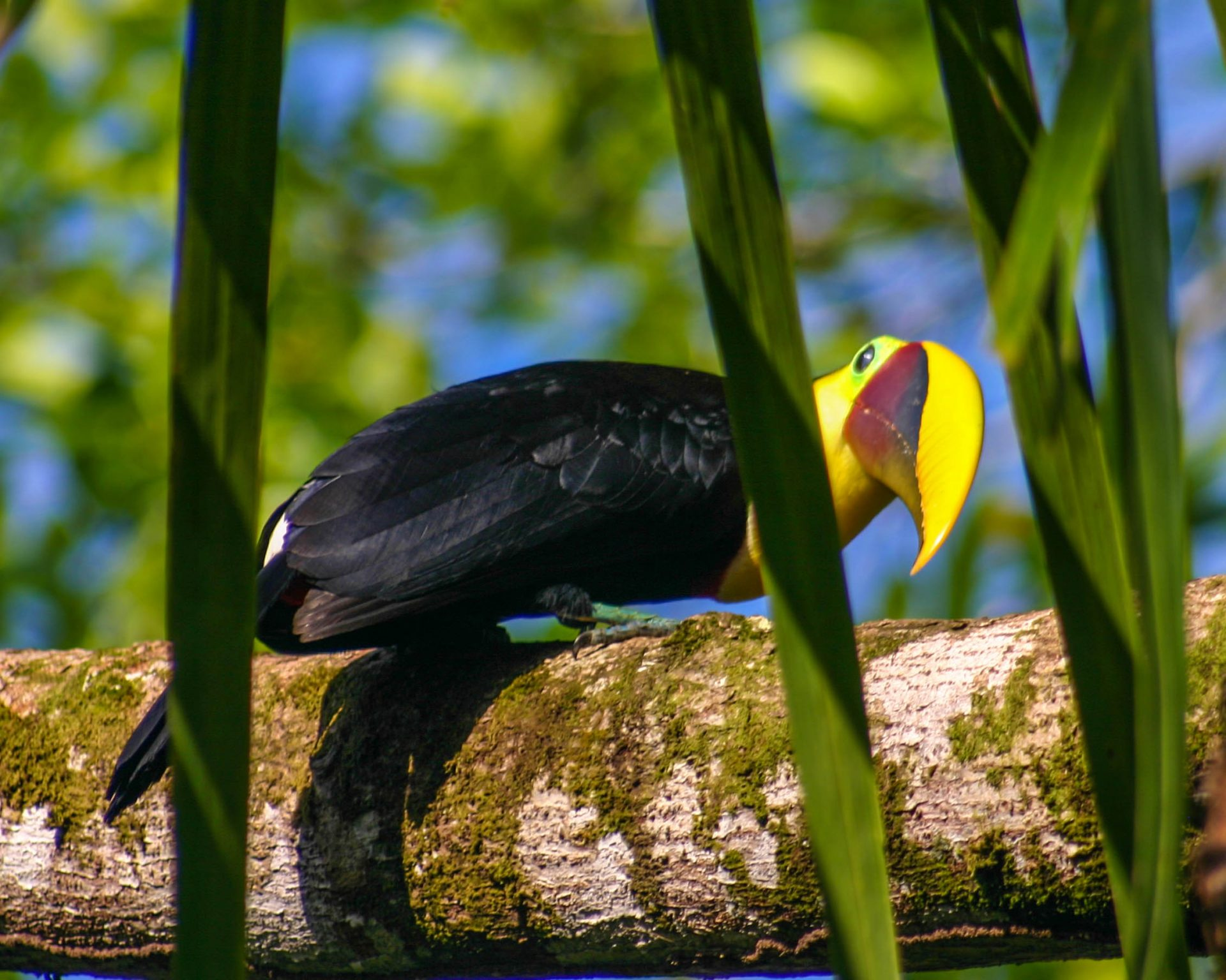 Bright beaked Toucan looks towards the camera - Osa Peninsula