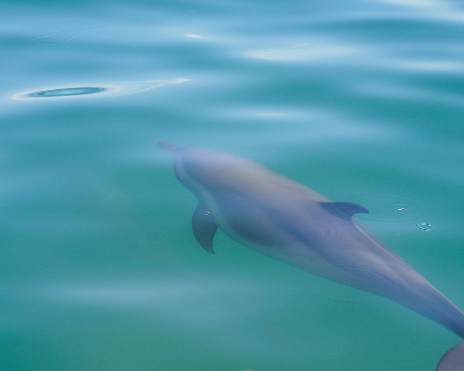 A dolphin swims just under the waves in Costa Rica - finding paradise in the osa peninsula