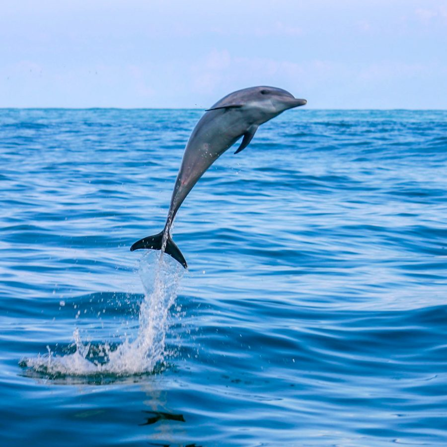 A dolphin leaps from the waves off the coast of Costa Rica - finding paradise in the Osa Peninsula