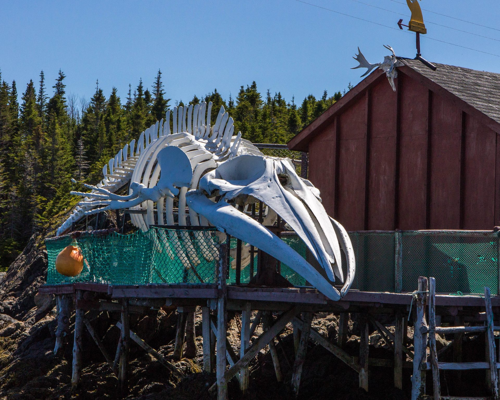 The skeleton of a Sei whale is on display outside a fishing shed - Icebergs in Twillingate