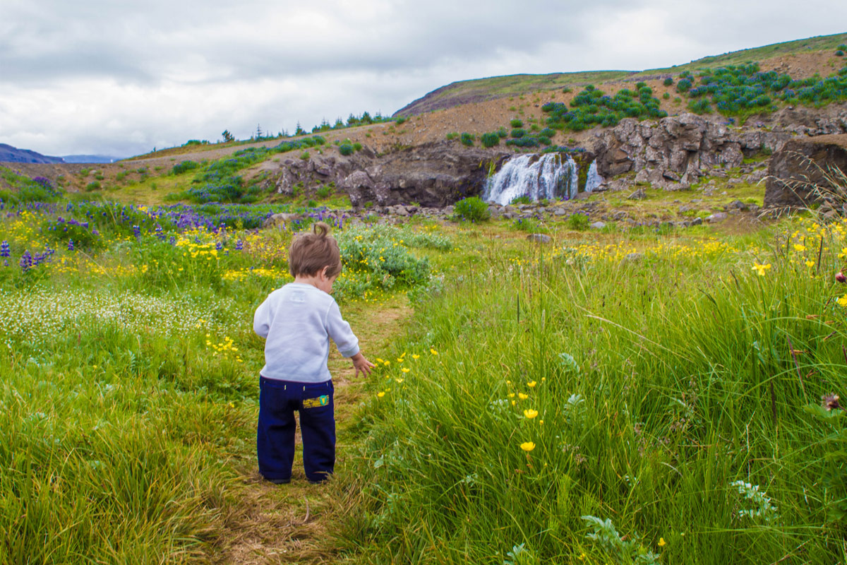A toddler walks through long grass and wildflowers towards a small waterfall as he explores family friendly hikes in Iceland