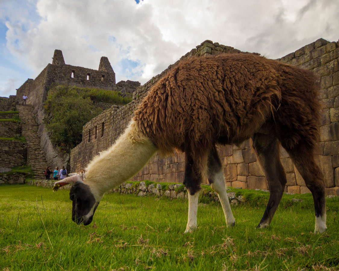 Machu Picchu for children - Llamas were everywhere and is a surefire favorite when visiting Machu Picchu with kids.
