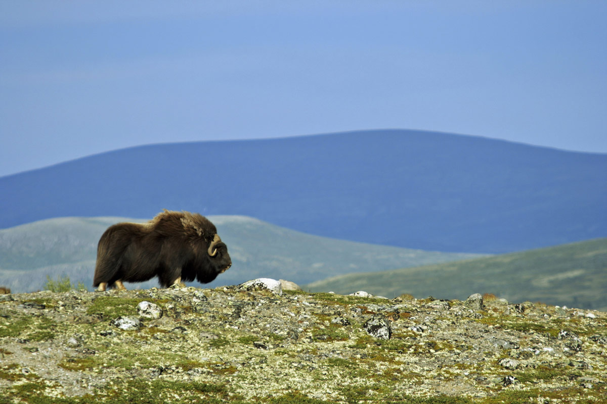 Muskox roam the plains of Ellesmere Island in Nunavut, one of the most amazing places in Canada