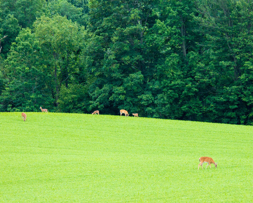 Deer graze on grass in Letchworth State Park in New York State