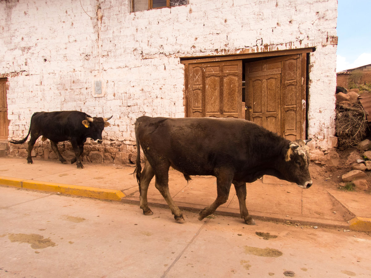 Cows walk through the streets of Maras Peru with kids in the Sacred Valley on a 14 day Peru Itinerary