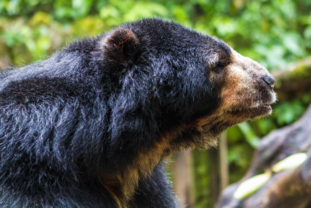 Spectacled Bear in the conservation program at InkaTerra Machu Picchu Pueblo hotel Peru