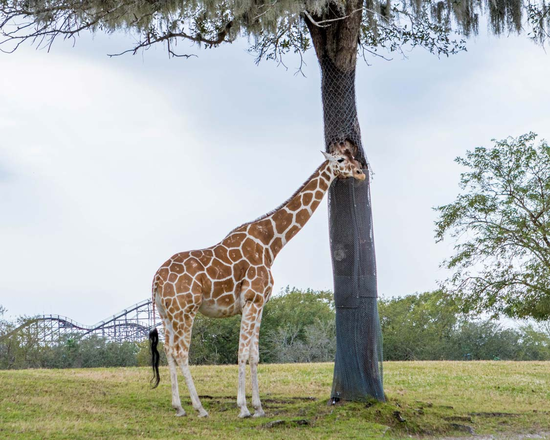 A giraffe in the shade of a tree at Busch Gardens Tampa Bay Florida with kids