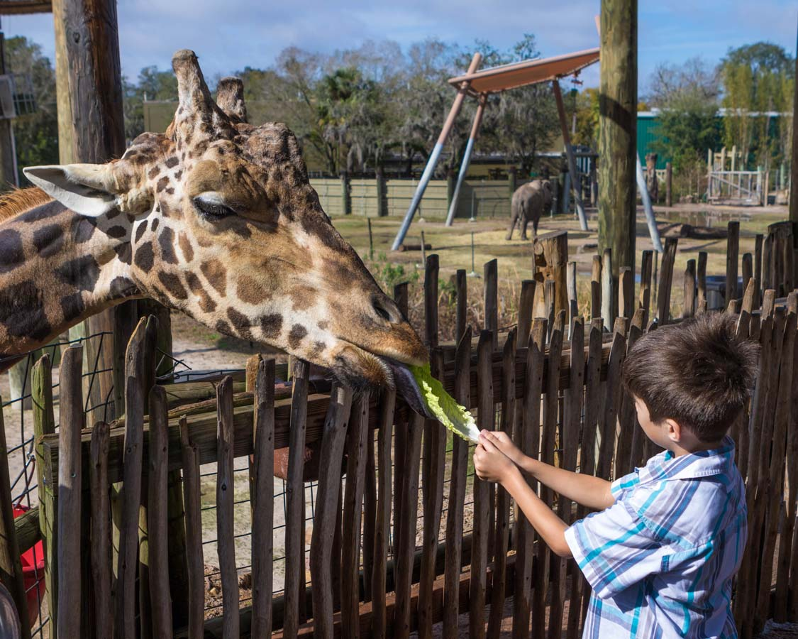 A young boy feeds a giraffe at ZooTampa in Tampa Florida