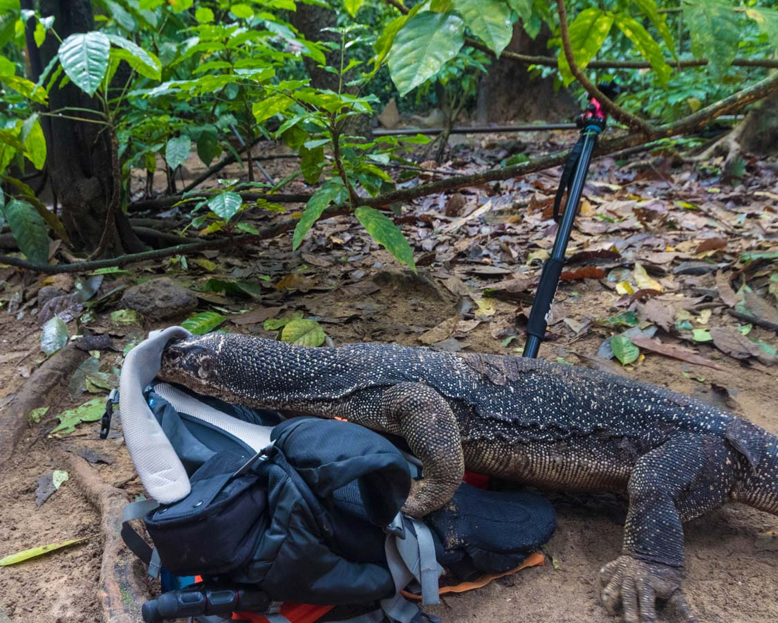 A-monitor-lizard-looks-in-a-bag-at-the-Puerto-Princesa-Underground-River