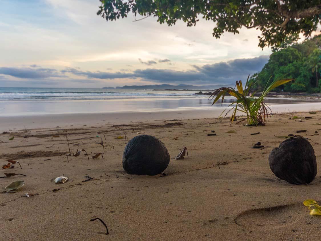 Coconut on the beach near Sabang Hotels near the Underground River