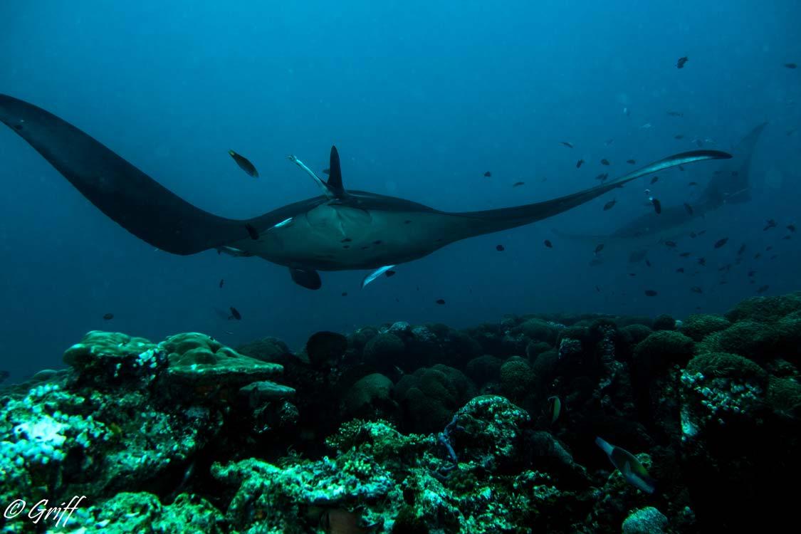 SCUBA Diving with Manta Rays in Kona Hawaii