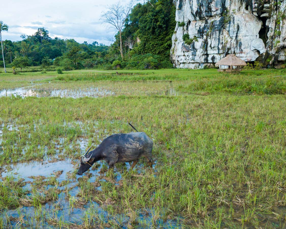 Water Buffalo in a rice field outside of Elephant Cave in Puerto Princesa Philippines, one of the best caves in Palawan