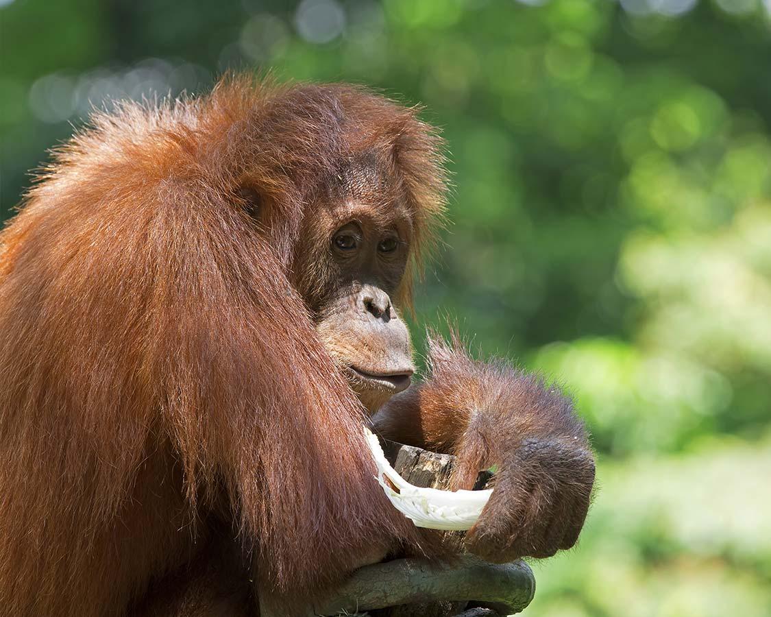 Family-wildlife-experience-Orangutans-in-Sumatra-Indonesia