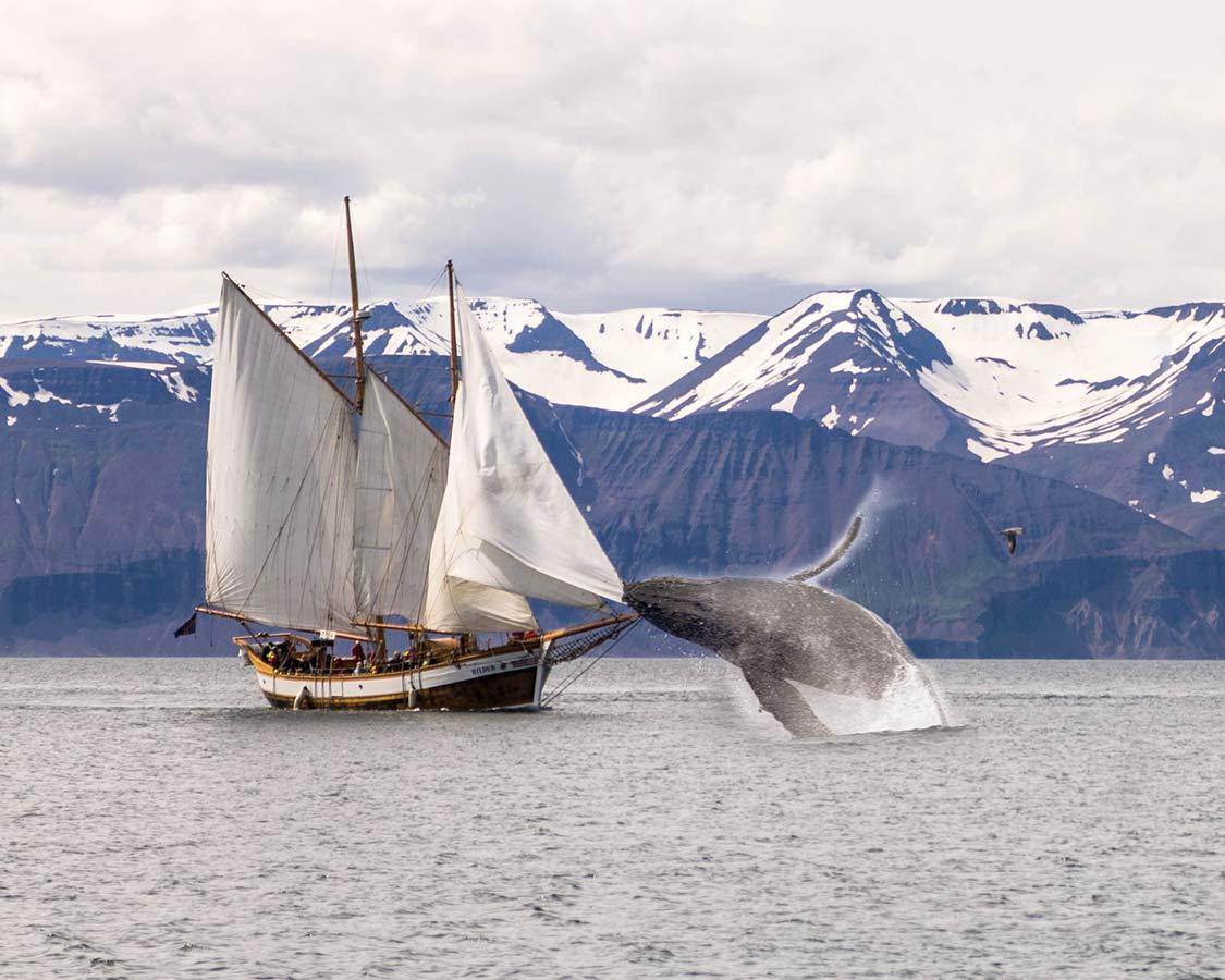Iceland Wildlife experience whale watching