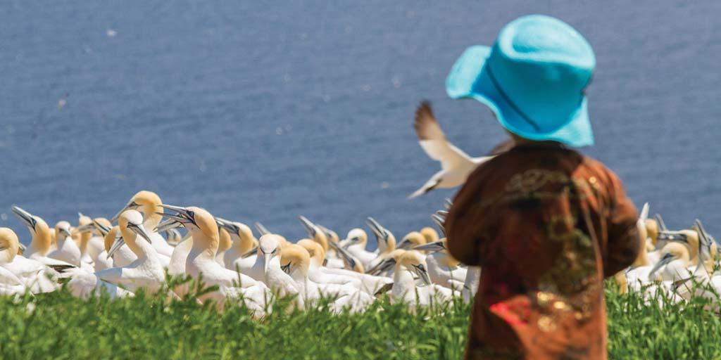 Northern gannets in Perce Quebec