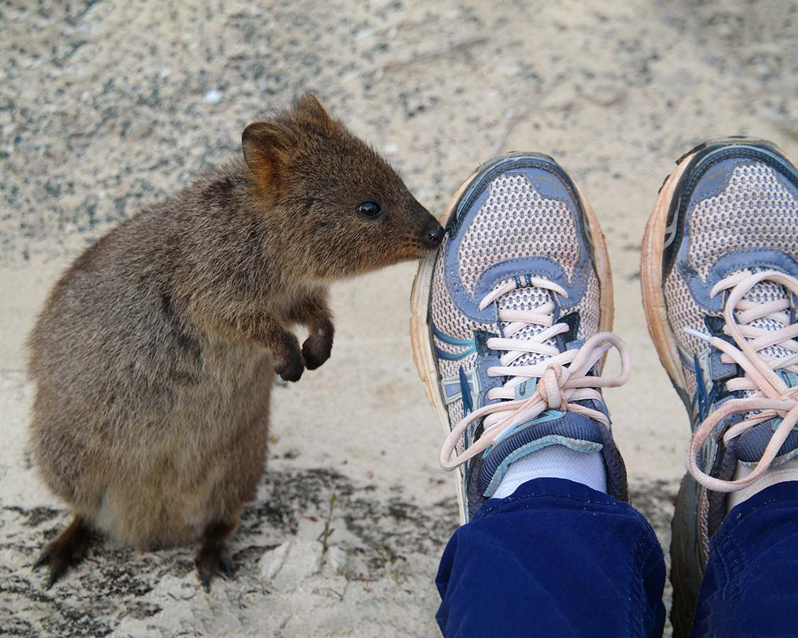 Quokka-wildlife-experience-Rottnest-Island-Australia