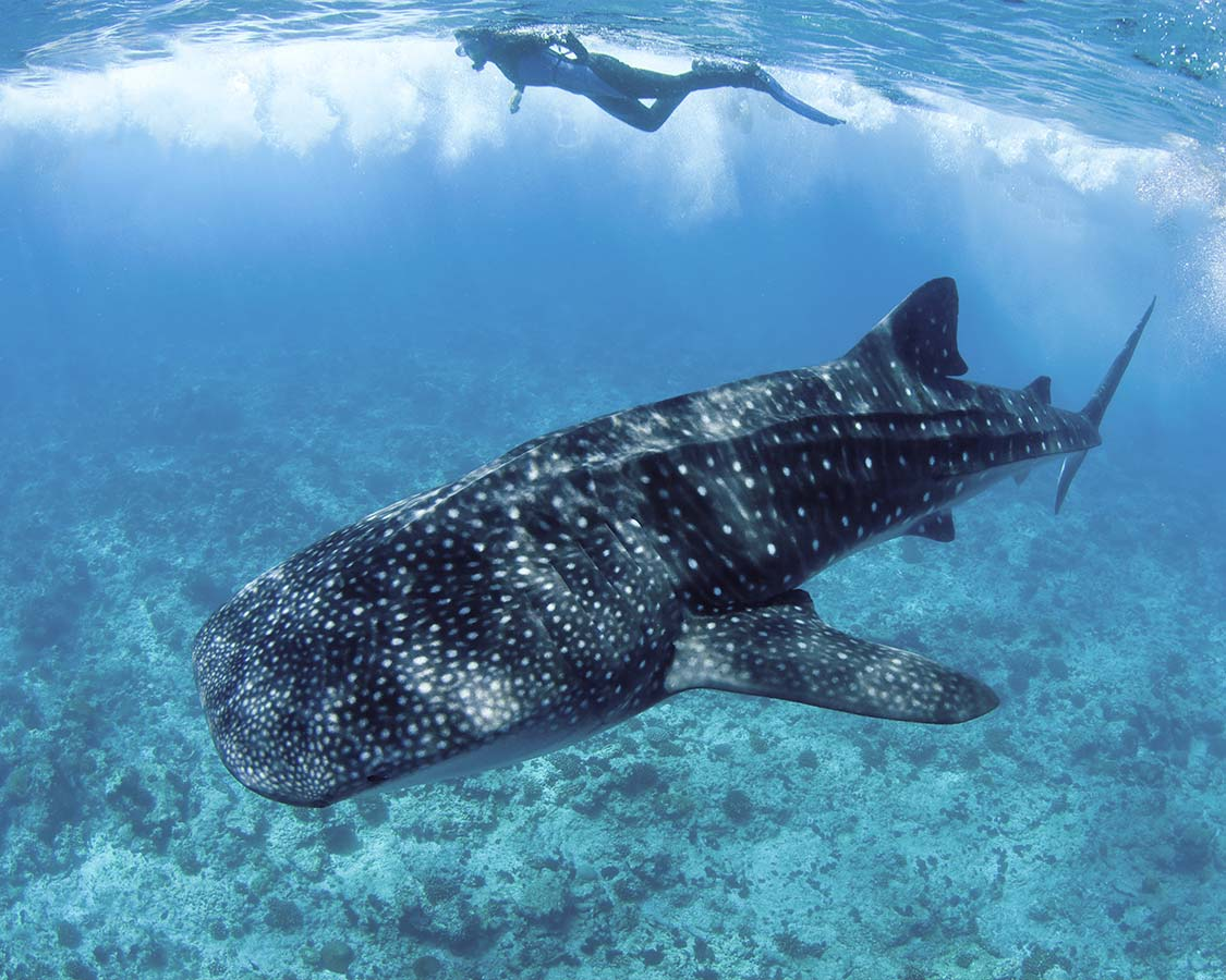 kids-wildlife-experiences-swimming-with-whale-sharks-in-Donsol-Philippines