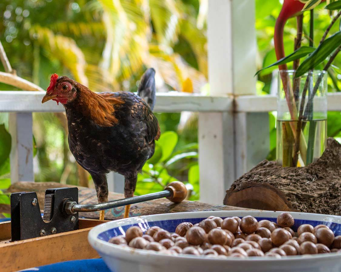 Chickens in Kauai with kids