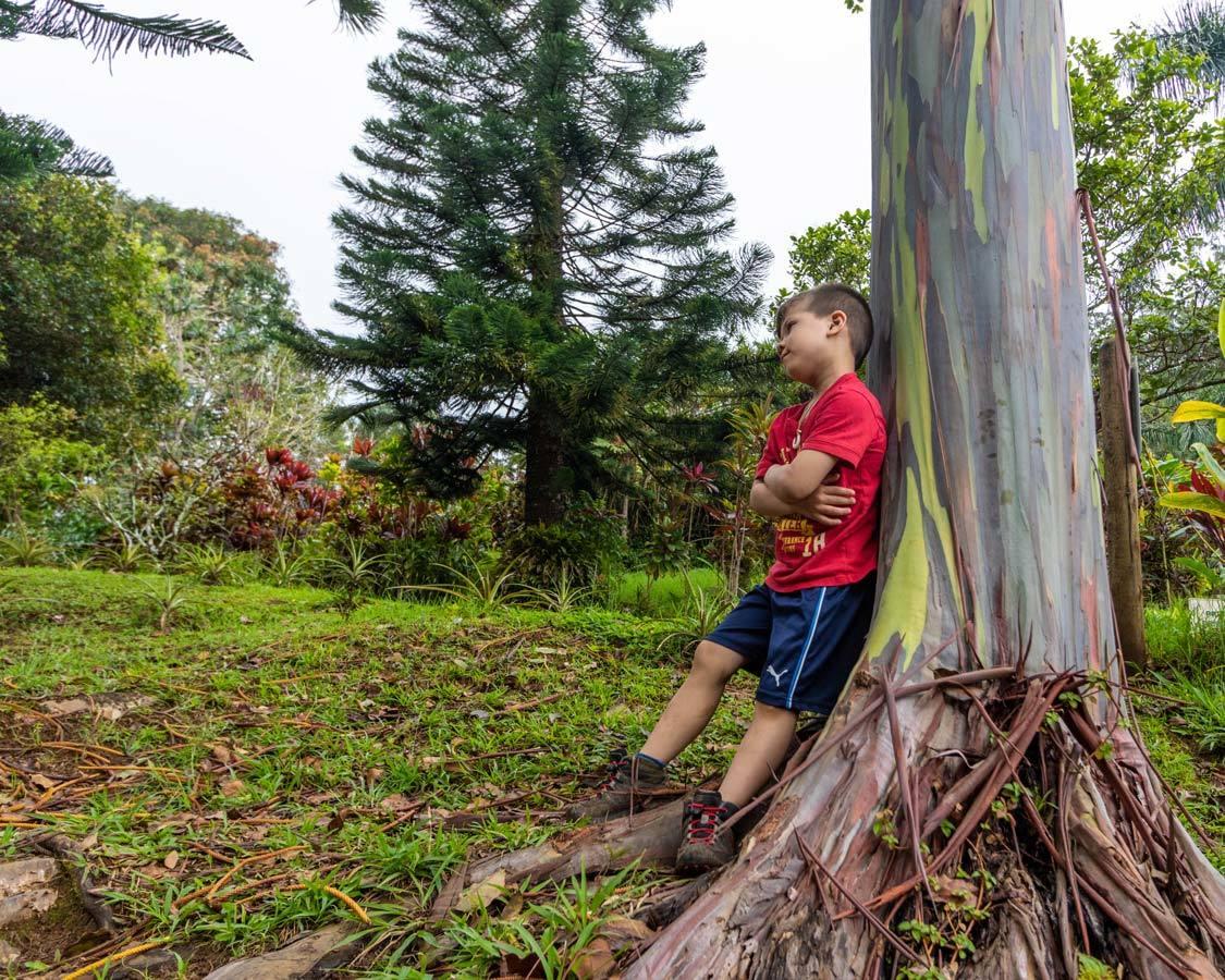 Rainbow Eucalyptus Trees along the Road to Hana Maui 5-days