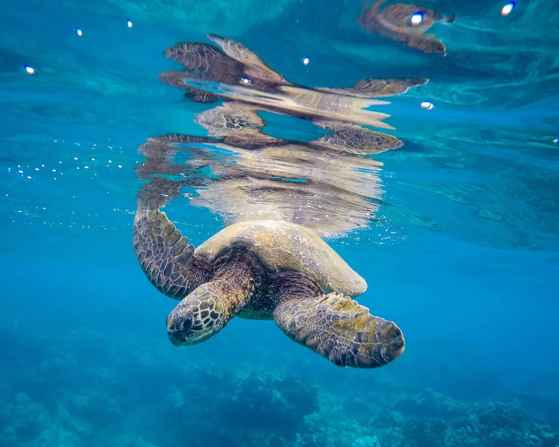molokini crater snorkel sea turtle