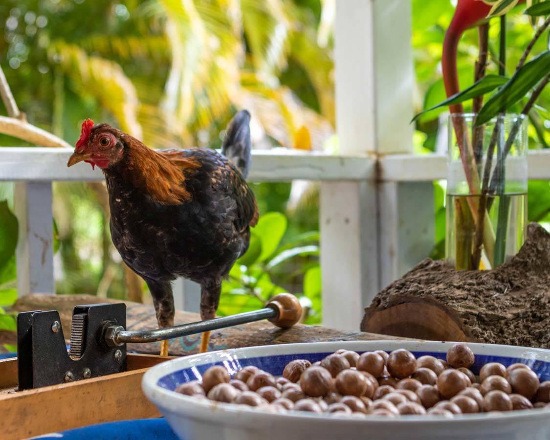Kauai Chocolate Tour Chicken and Macadamia Nuts
