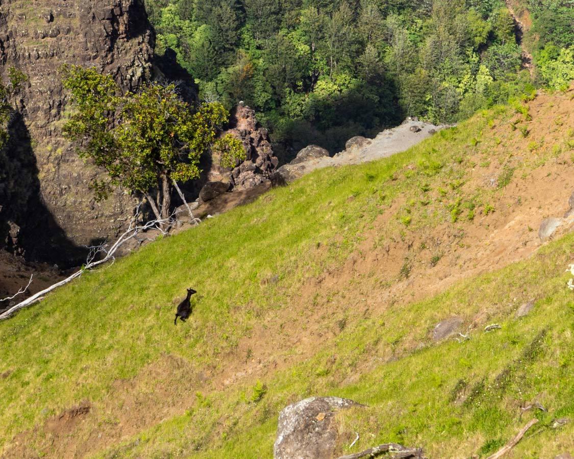 Kauai Grand Canyon goats