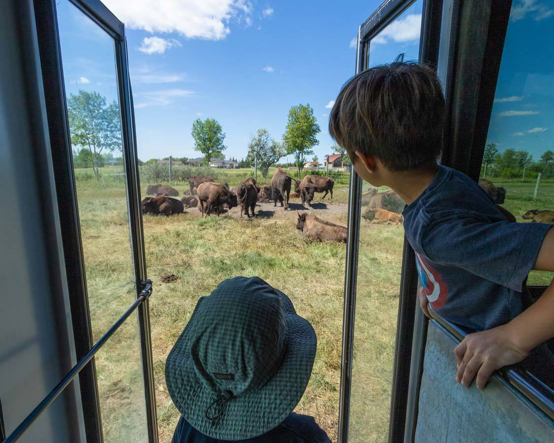 Fort Whyte Alive Bison Safari Fun Things To Do In Winnipeg Manitoba