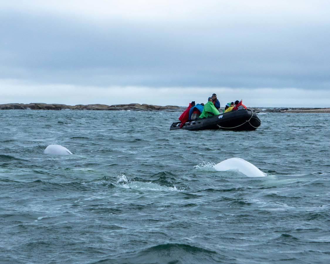 Beluga whale zodiac tours in Churchill