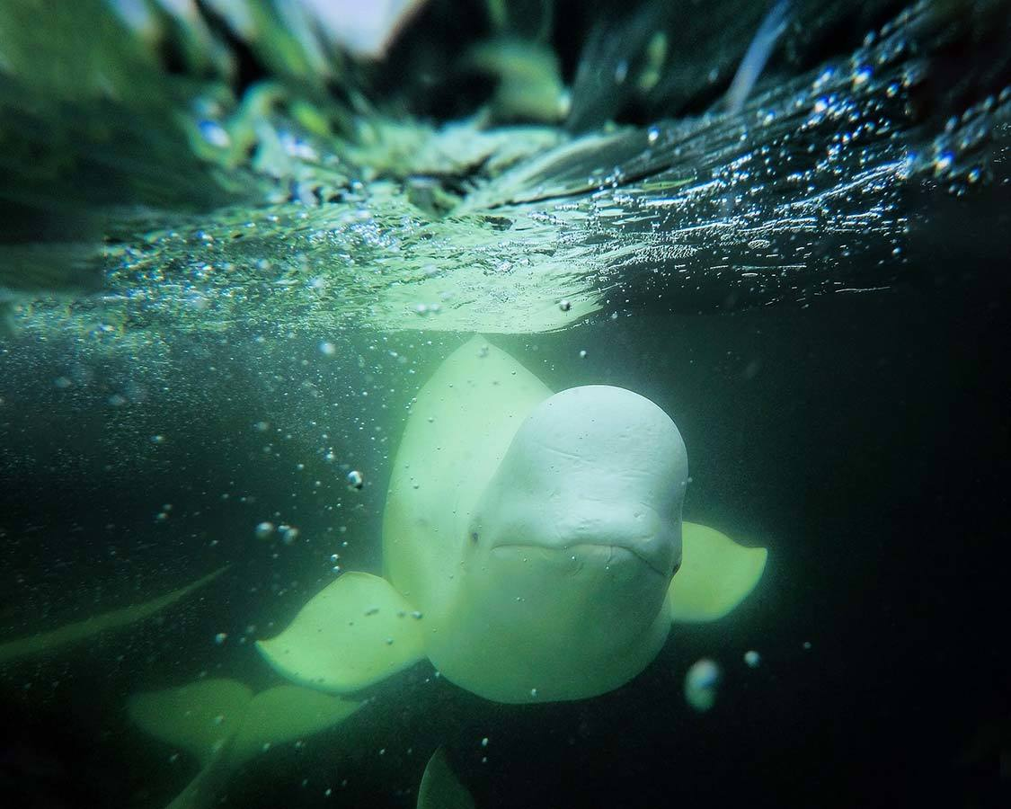 Beluga whales in Churchill Manitoba