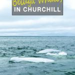 Kayaking with Beluga Whales in Churchill Manitoba