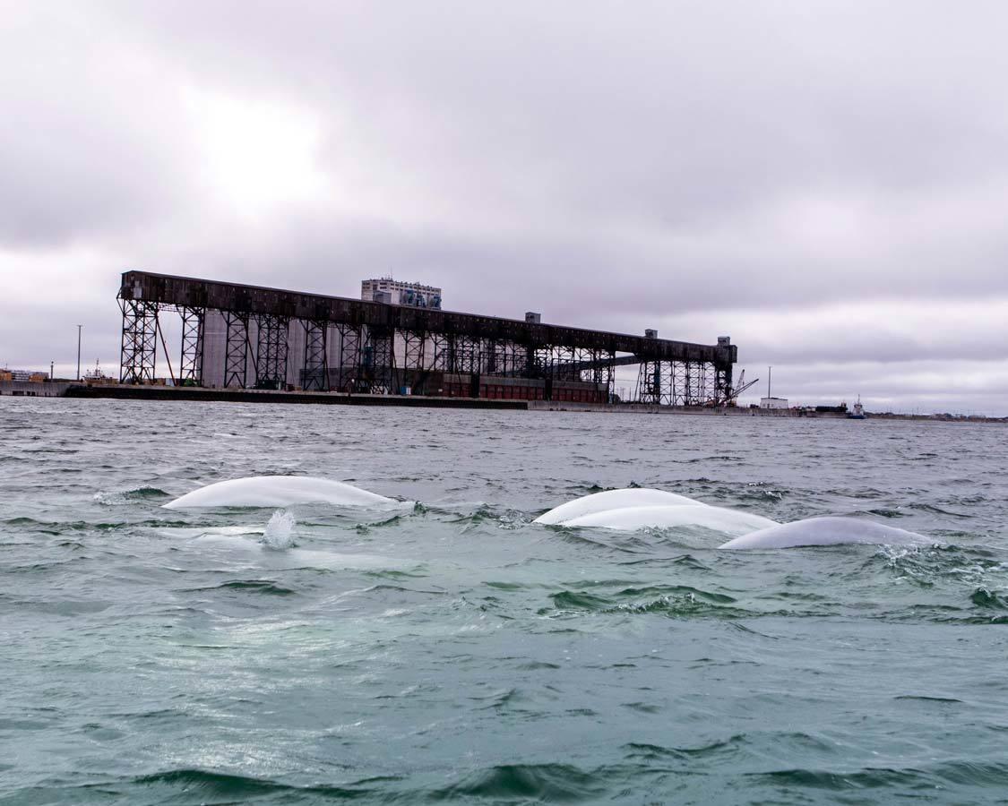 Kayaking with beluga whales in Manitoba
