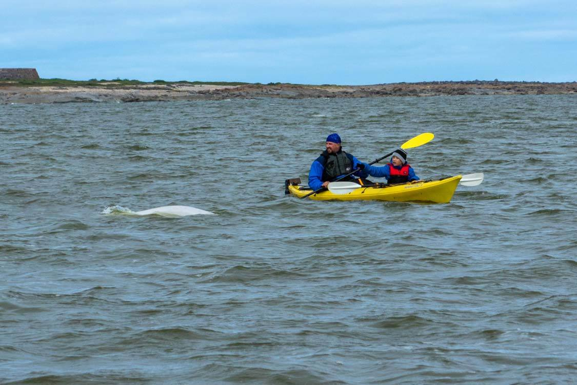 Kayaking with beluga whales with kids
