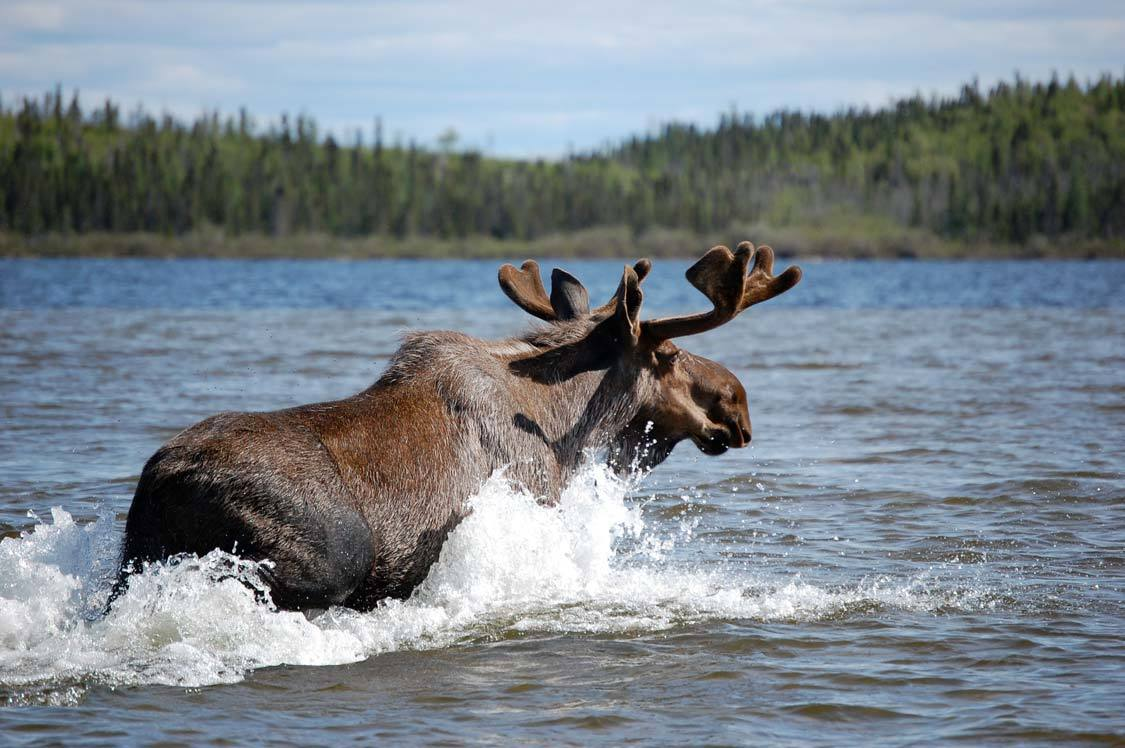 Moose in Whiteshell Provincial Park Manitoba