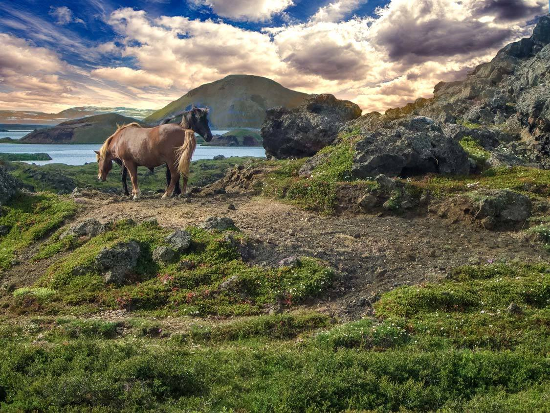 Horses at Lake Myvatn in Iceland
