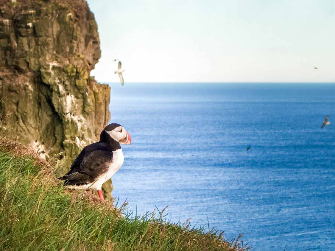 Puffin In Latrabjarg Iceland