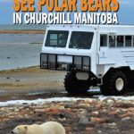 Where to see polar bears in Churchill Manitoba