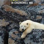 Best way to see Churchill polar bears in Manitoba