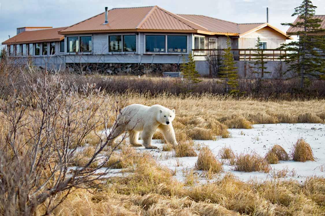 Churchill polar bears in front of John Donelson safari lodge in Manitoba