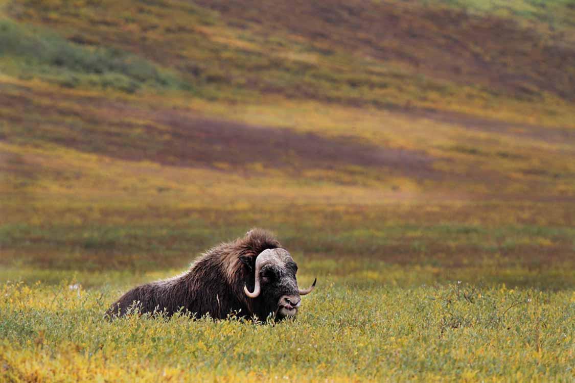 Muskox in Nunavut Canada