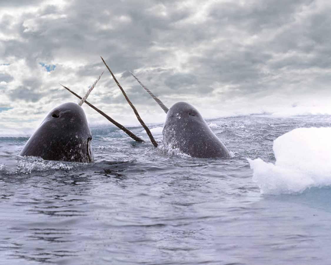 Narwhals in Nunavut Canada