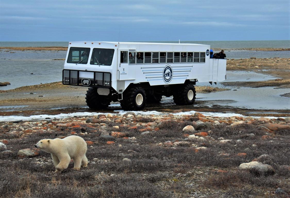Polar bear walking near Tundra-Buggy in Churchill Manitoba