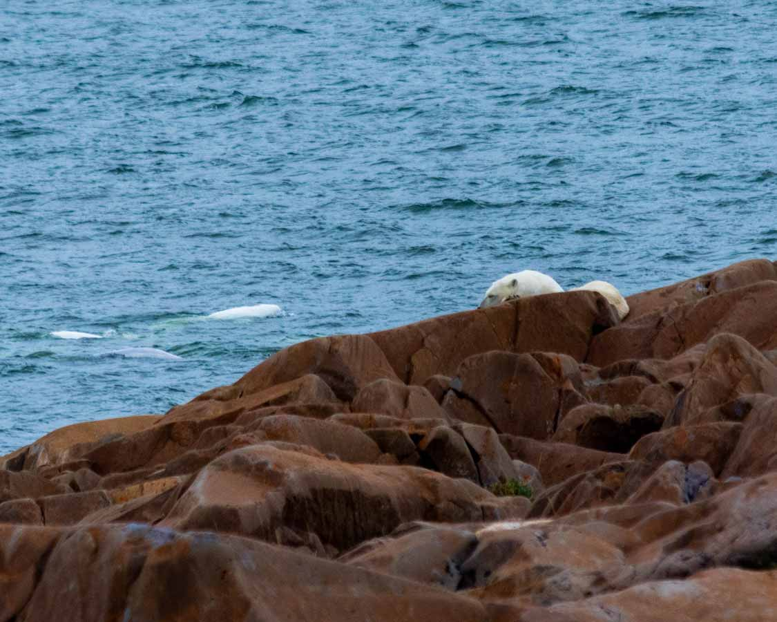 Polar bear with beluga whales-in the background in Churchill