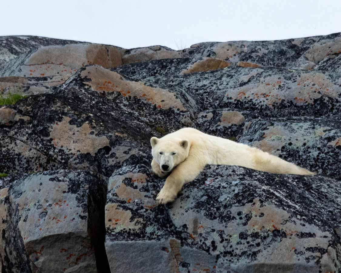 Self- guided polar bear tour in Churchill Manitoba
