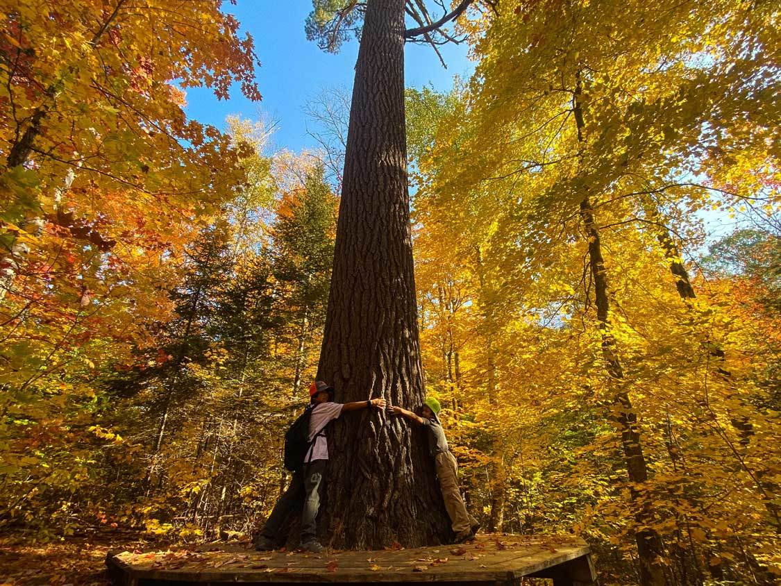 Hugging Tree's during fall in Algonquin Provincial Park
