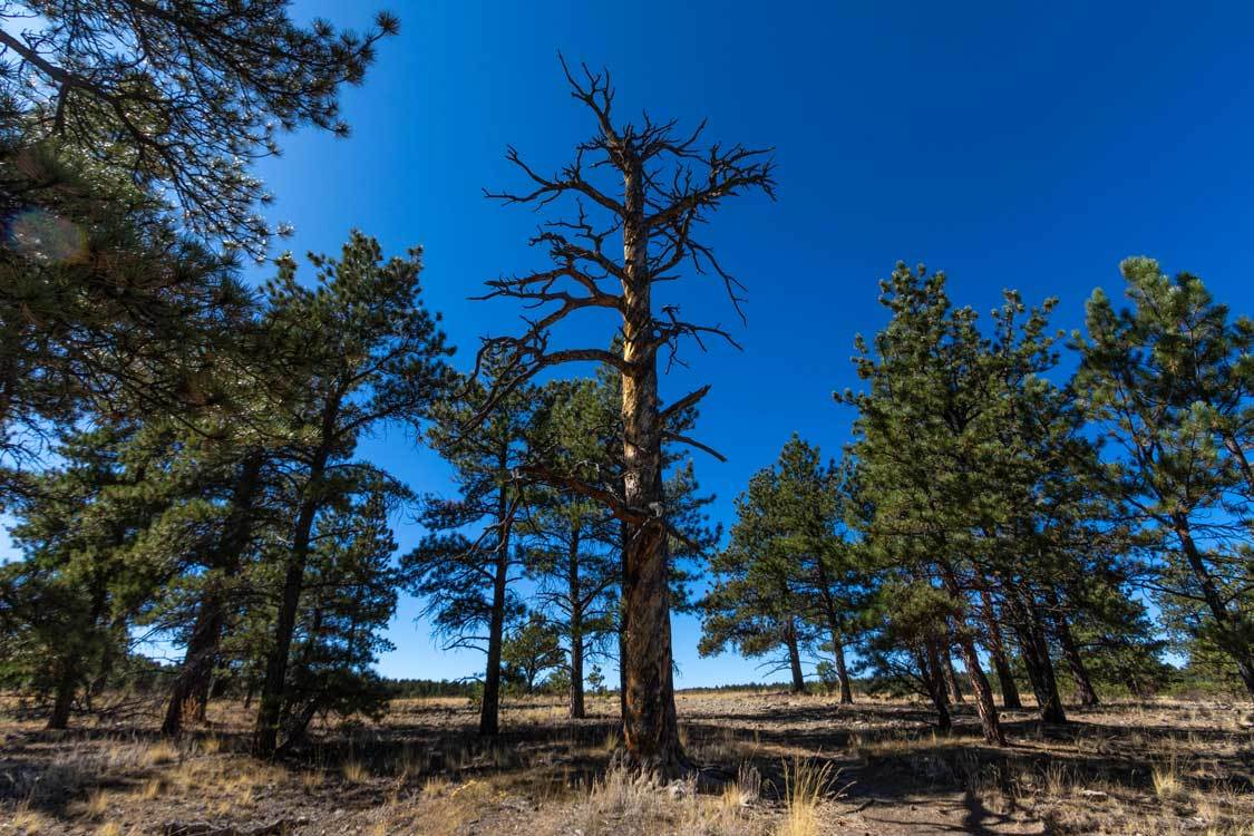 Colorado Redwoods in Florissant Fossil Beds National Monument