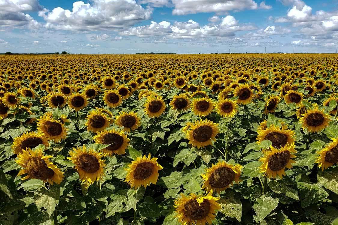 Sunflower Field in Manitoba